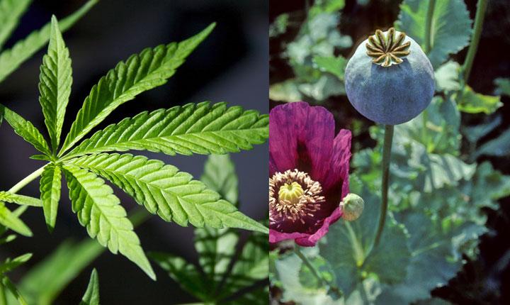 مصرف همزمان تریاک و گل چه عوارضی بر بدن می گذارد؟