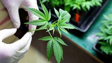 ماری جوانا | ماده مخدر گل | ماریجوانا