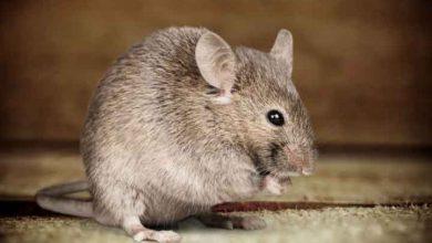 ترس از موش